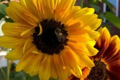 Sunflower (October 2019)