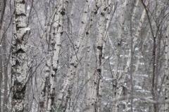 birches-3000-sfw